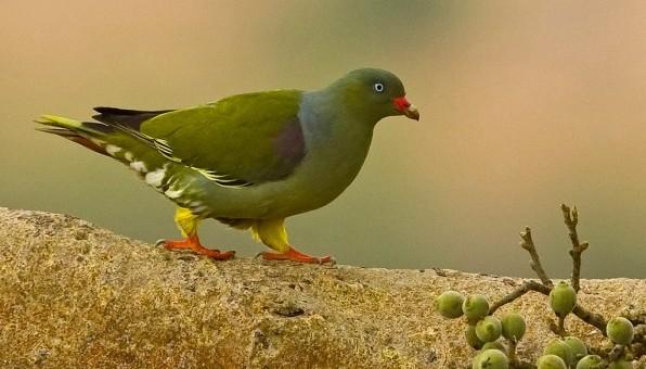 Img-1837-Green-pigeon-596x397